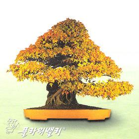 단풍나무(석부)